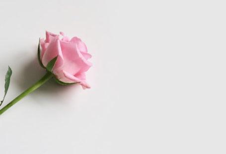 filosofi-mawar-merah-muda
